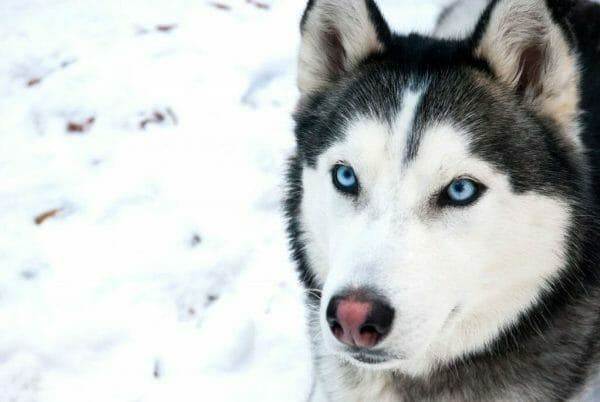 Siberian Husky in the snow