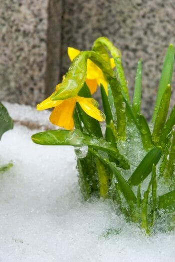 Snow covered daffodils in Philadelphia