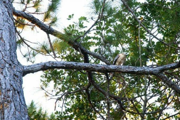 Hawk at Six Mile Cypress Slough