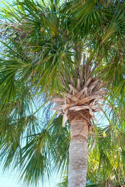 Palm tree at Bonita Springs beach