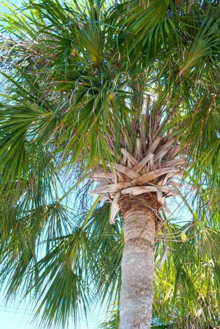 Palm tree in Fort Myers