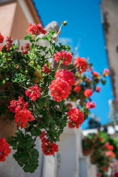 Praiano, Italy flowers