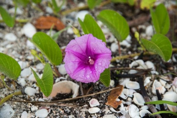 Purple flower on the beach