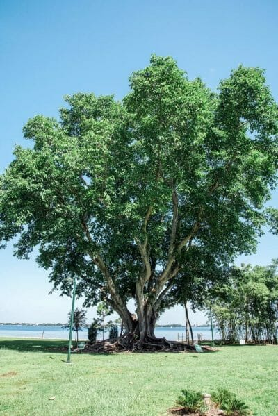 Fig tree in Florida
