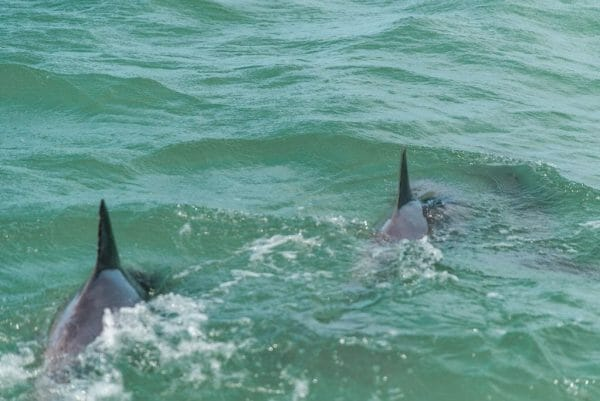 Dolphins swimming in Bonita Springs