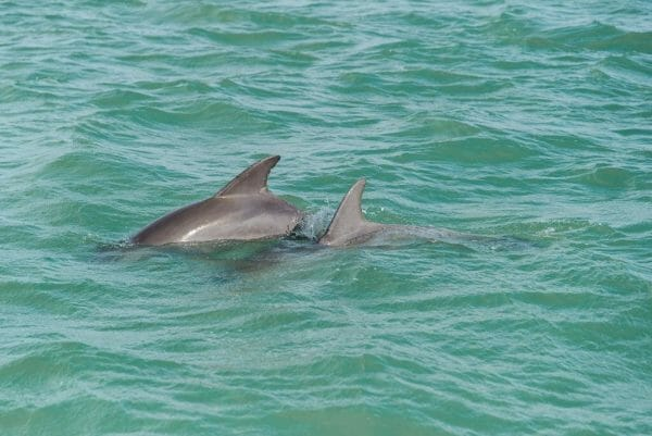 Dolphins in the wild in Florida