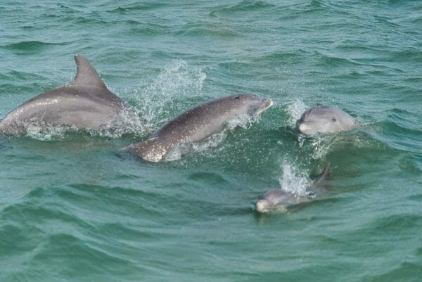Dolphins in Fort Myers