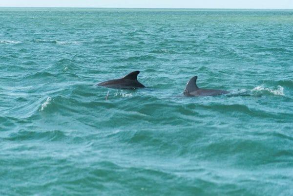 Dolphins in Bonita Springs