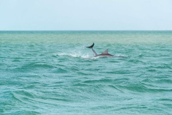 Dolphins swimming in Florida