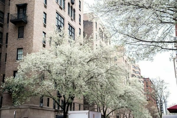 Cherry blossoms in the West Village
