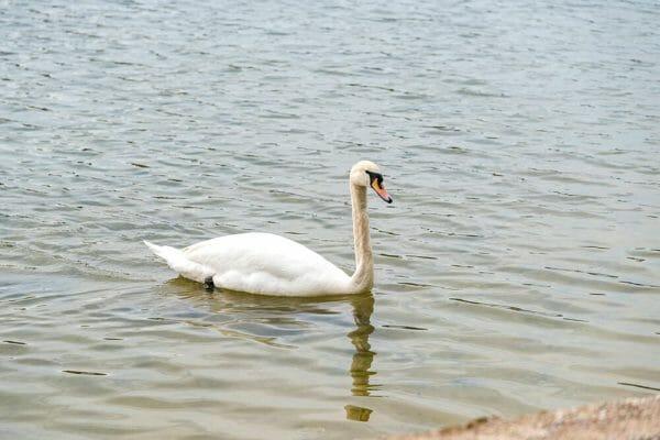 Swans in Copenhagen