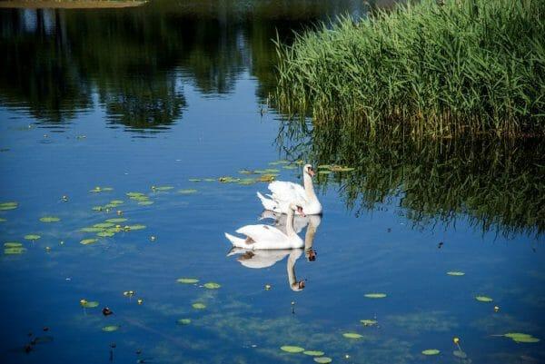 Swans swimming in Kastellet in Copenhagen