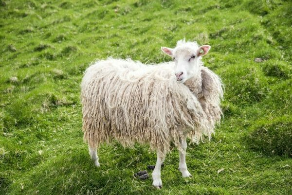 White sheep on the Faroe Islands
