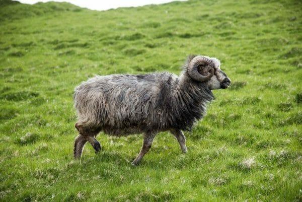 Ram on the Faroe Islands