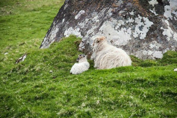 Lamb on the Faroe Islands