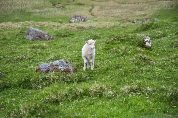 White lamb on the Faroe Islands