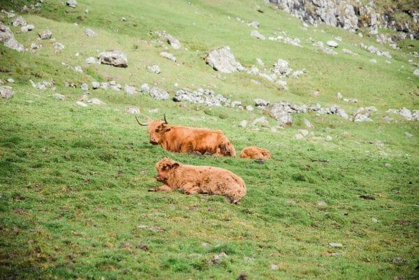 Faroe Islands red cows