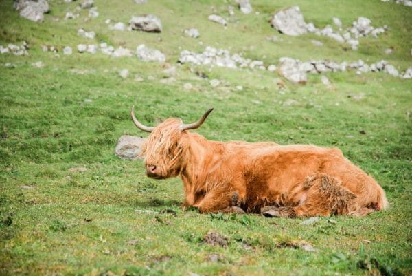 Highland cows in the Faroe Islands