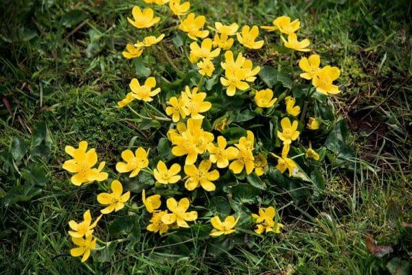Faroe Islands yellow flowers