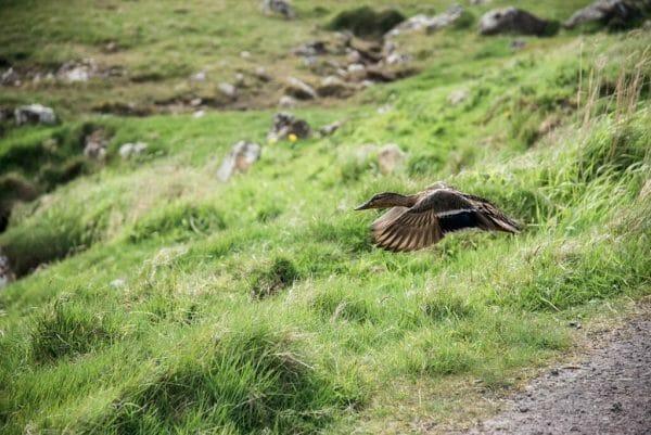 Faroe Islands duck