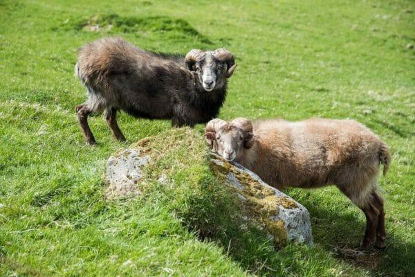 Sheep in Kunoy