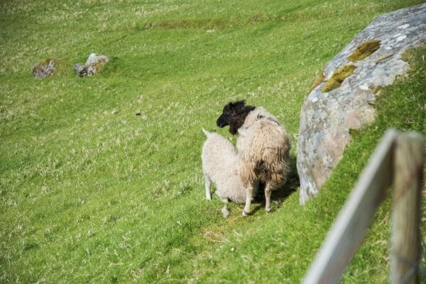Sheep feeding in the Faroe Islands