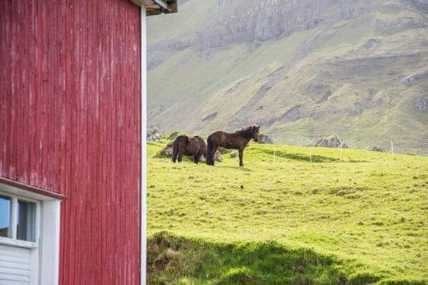 Horses in the Faroe Islands