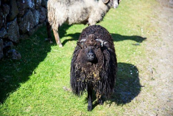 Black sheep on the Faroe Islands