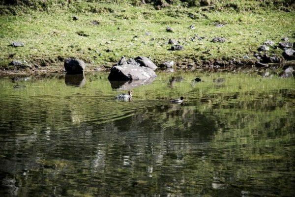 Faroe Islands ducks