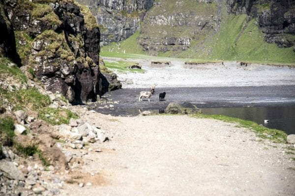 Sheep on a black sand beach in the Faroe Islands