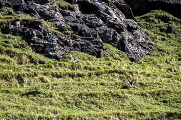 Faroe Islands birds