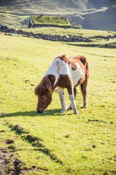 Horses in Saksun