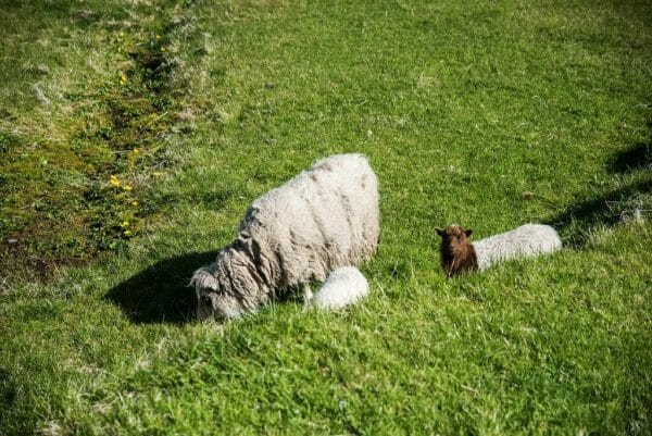 Brown sheep on the Faroe Islands