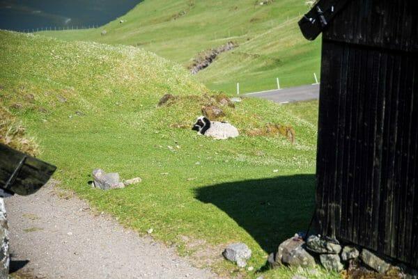 Sheep on the Faroe Islands
