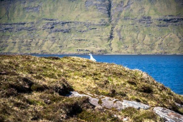 Faroe Islands bird