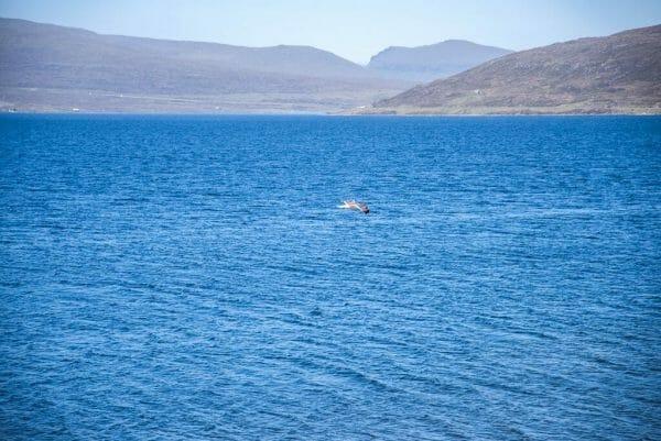 Faroe Islands seagull