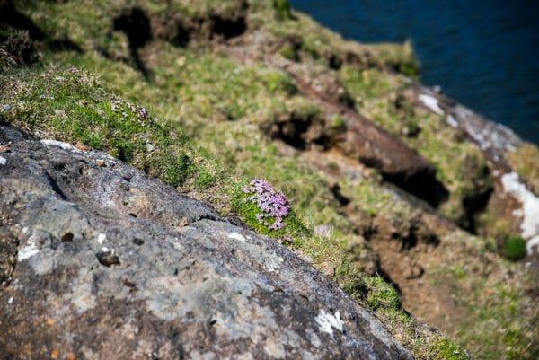 Faroe Islands flowers