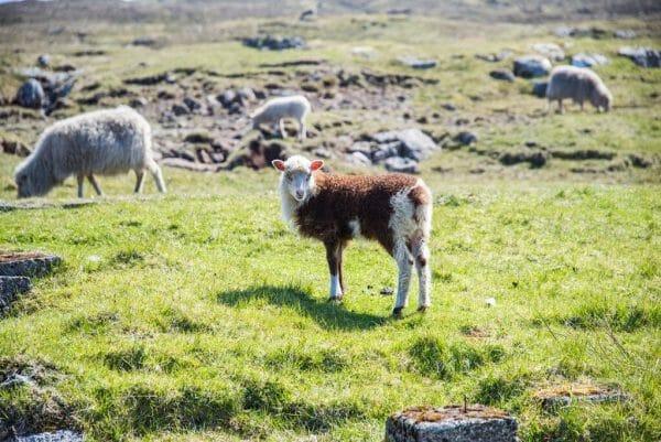 Brown lamb on the Faroe Islands