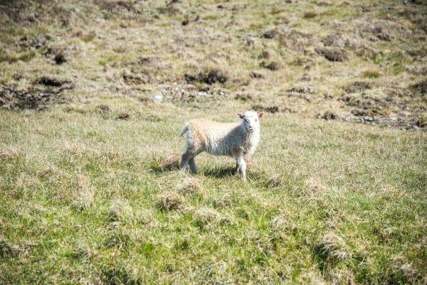White lamb in the Faroe Islands
