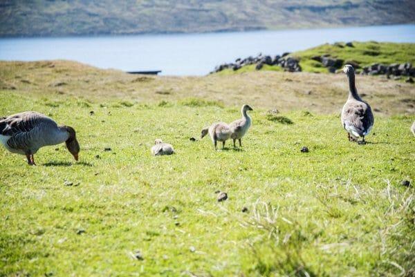 Faroe Islands geese