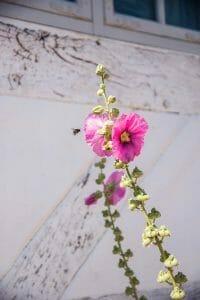 Pink flowers in Aarhus