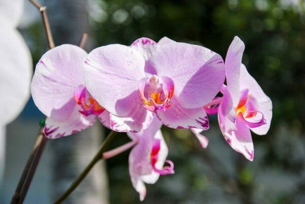 Purple orchids in Key West