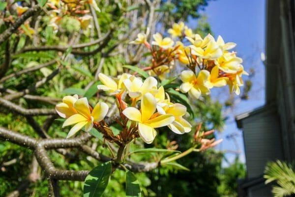 Plumeria in Key West