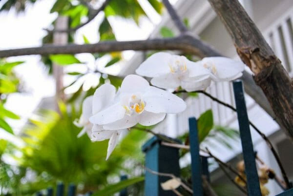 White orchids in Key West