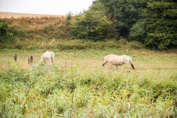 Horses in Denmark