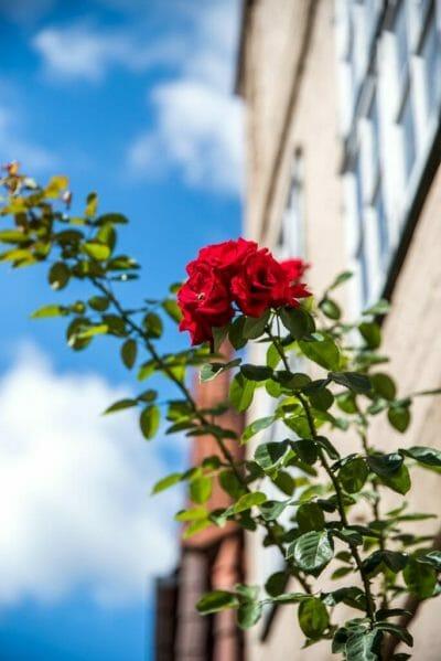 Red rose bush in Luneburg