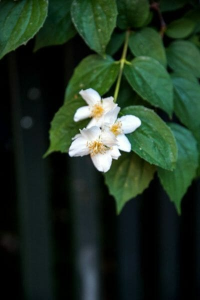 Close up white flower in Copenhagen