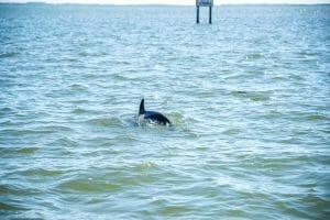 Dolphins in Cabbage Key, Florida
