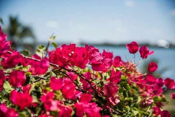 Pink flowers on Cabbage Key