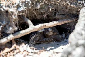 Tortoises in Cabbage Key, Florida